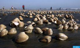 Levée d'interdiction sur le ramassage et la commercialisation des coquillages au niveau de la région Ras Kebdana-Saïdia