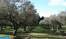 جهة طنجة-تطوان-الحسيمة : توقعات بأن يفوق إنتاج الزيتون 230 ألف طن