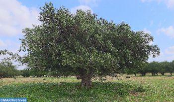 L'arganier, un patrimoine forestier emblématique de la province d'Essaouira