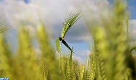 Campagne céréalière: Des mesures incitatives à la commercialisation de la production nationale