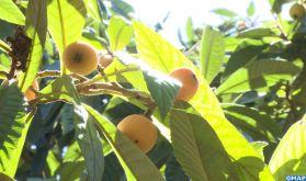 Les nèfles de Zegzel: Une campagne exceptionnelle pour un produit de terroir par excellence