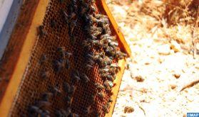 L'apiculture, un secteur à fort potentiel dans la région Béni Mellal-Khénifra