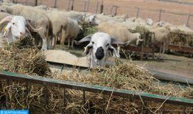Région Marrakech- Safi : Le secteur de l'élevage en chiffres