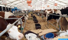 Drâa-Tafilalet : l'orge subventionnée destinée aux éleveurs sera distribuée à travers 9 centres relais
