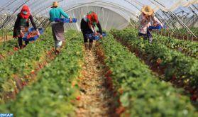 Fruits rouges dans la Gharb: Le label Maroc se fait une place de choix à l'étranger