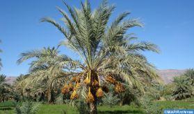 EEAU : Focus sur l'expérience marocaine en matière de développement du palmier-dattier