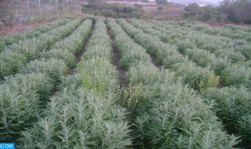L'absinthe, la mystérieuse plante verte !